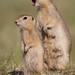 Mother Richardson's Ground Squirrel - Urocitellus richardsonii - Grasslands National Park, Saskatchewan, Canada by Paul B Jones