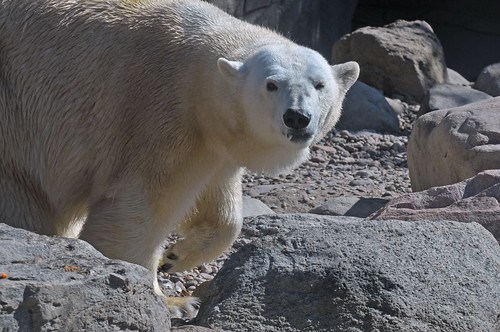 Eisbärin Viktoria im Zoo Aalborg