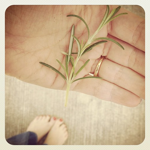 Rosemary from my yard. Finally planted one that is thriving!