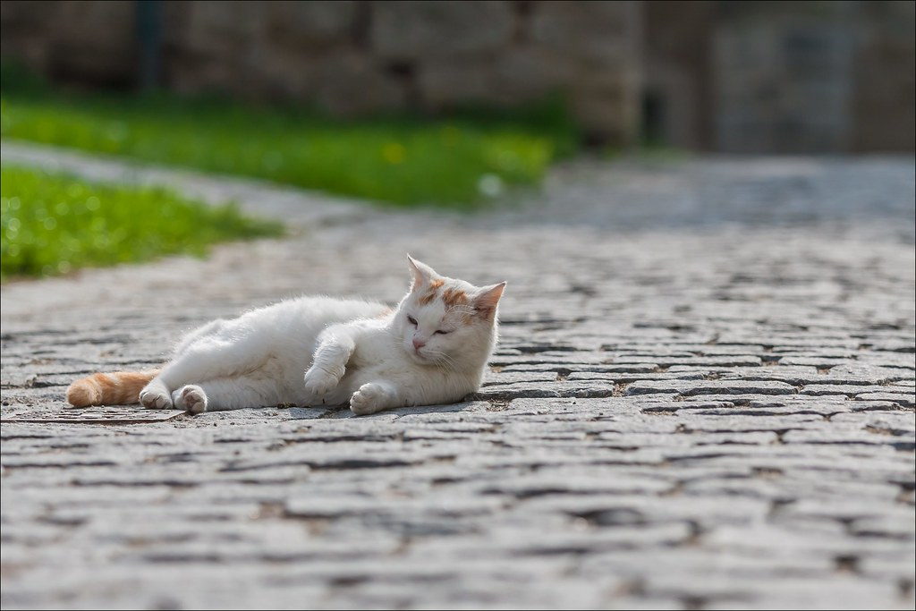 the cat in Rothenburg