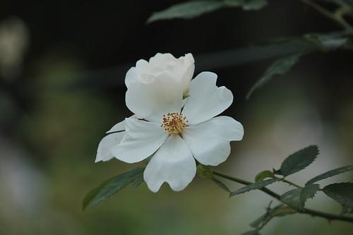Roseto comunale: i fiori del roseto