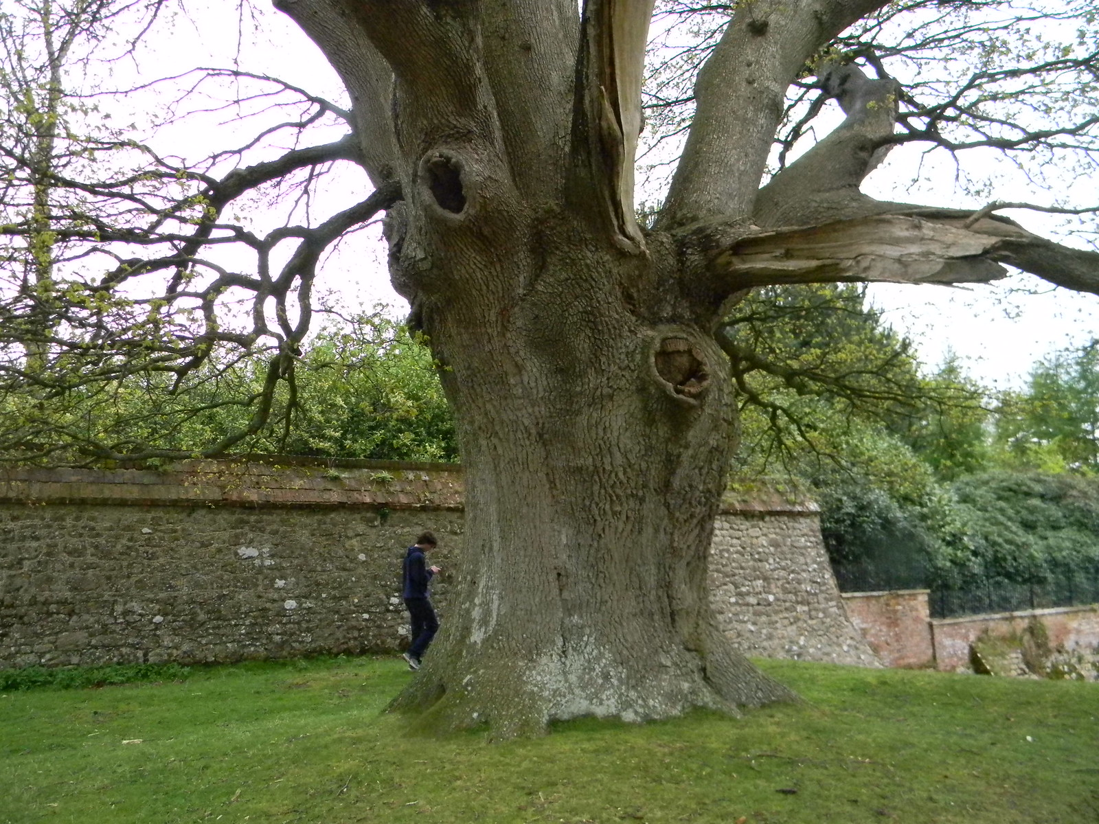 Big tree, Knole House Borough Green to Sevenoaks (composite walk)