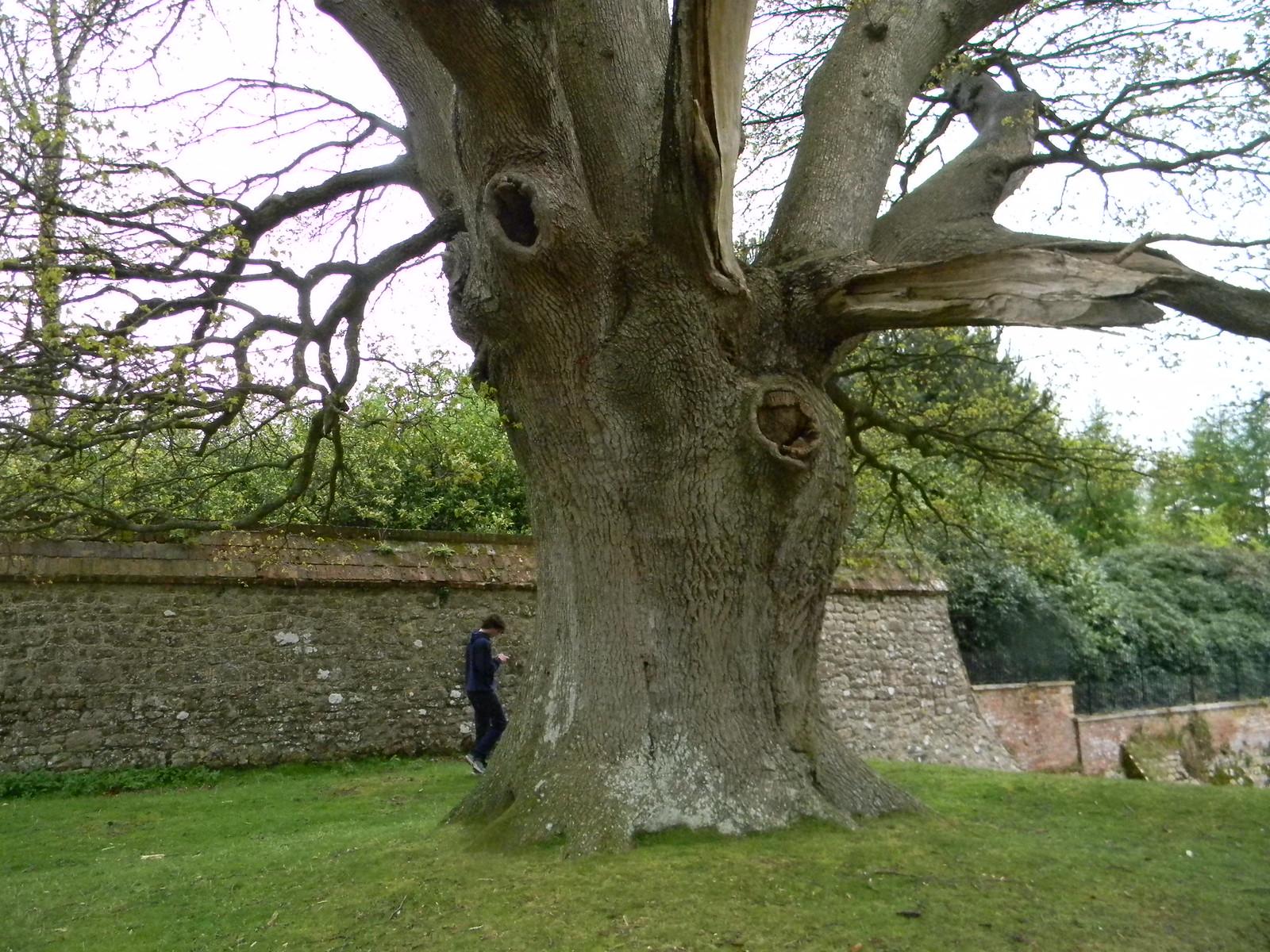 Big tree, Knole House Borough Green to Sevenoaks (composite walk)