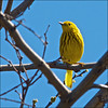 Male Yellow Warbler @ Nauwatin
