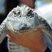 Small photo of Juvenile American Alligator (Alligator mississippiensis)