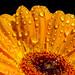 Macro Flower and Rain Drops by حــسـين الـ مـعـمـر