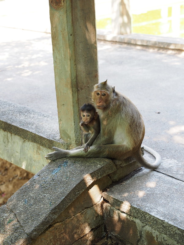 Monkey in Oudong