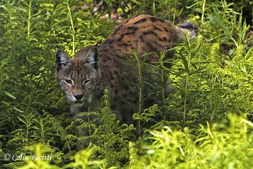 norway mammal lynx approaching carnivore tromso prowling supershot northernnorway europeanlynx eurasianlynx lynxlynx specanimal simplysuperb fantasticwildlife hennysanimals 5wonderwall sunrays5