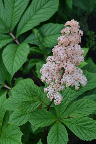 RODGERSIA pinnata 'Superba'