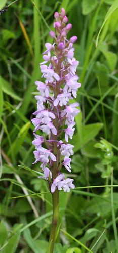 Fragrant Orchid Gymnadenia conopsea