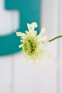 giant scabious