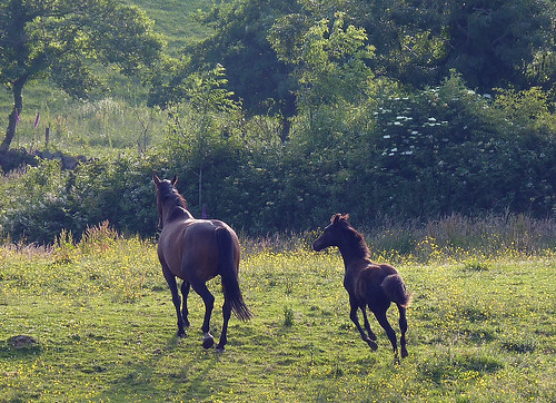 July evening: Molly and her 4 month old foal