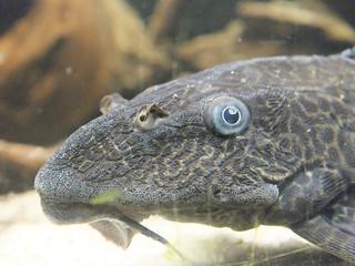 Pterygoplichthys multiradiatus