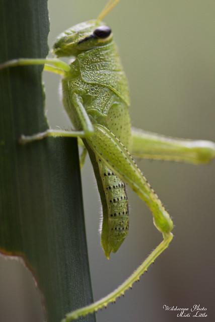 grasshopper2