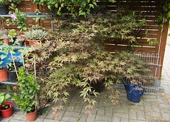 Fächershorn (Acer palmatum)