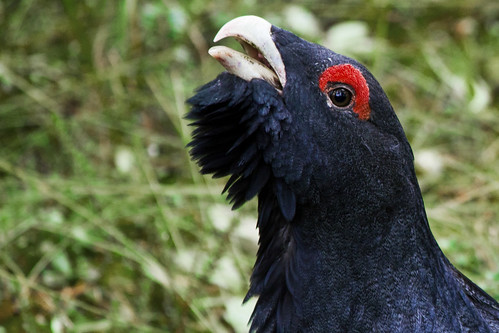 Capercaillie close-up