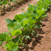 Small photo of Soybean Research