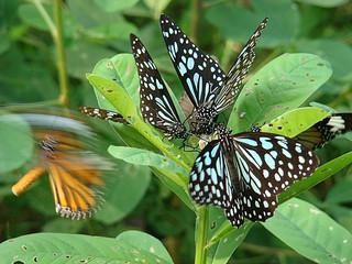 094 Dark Blue Tiger