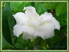 Tabernaemontana divaricata cv. Flore Pleno (Crepe Gardenia, Crepe Jasmine) with beautiful ruffled pure-white petals, Aug 10 2013