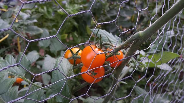tomato 20130906_190215
