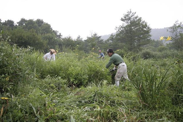 奥にはユウスゲが咲く湿地群落があった.刈り残されるユウスゲ.