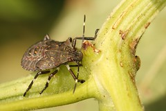 Brown marmorated stink bug nymph