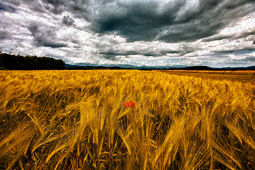 autumn nature rain clouds gold day wind blowing slovenia poppy ljubljana daytime showers stormclouds heavyrain bs3 markiii whead filedofwheat cloudsonthesky goldwheat europecanon poppyonthefiled iztokkurnikphotographystudio showinmyeyes projectwheater