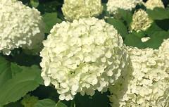 annual plant, flower, guelder rose, plant, green, viburnum,