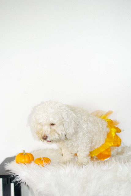 halloween dog costumes, dog photography, maltipoos, happy halloween