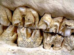 Hippopotamus Teeth