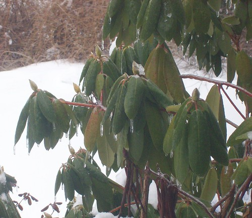 icy rhododendron
