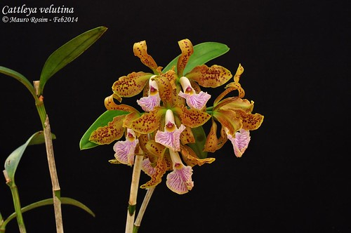 Cattleya velutina by Mauro Rosim