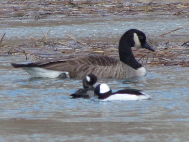 Bufleheads and Canada Goose 2:14:14
