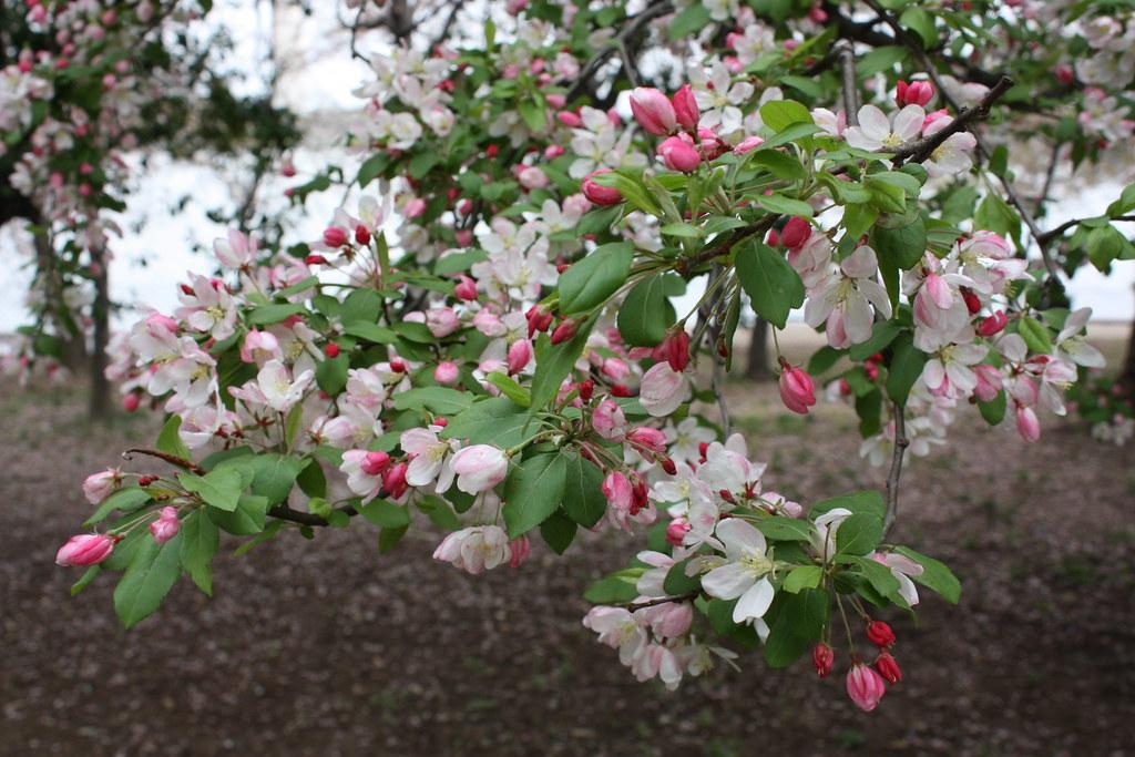 DC Cherry Blossoms 2011