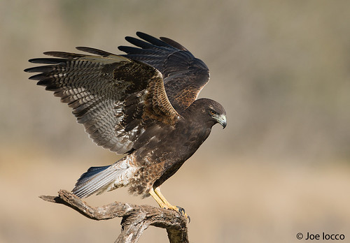 White tailed Hawk-juvi