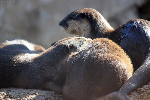 a little cuddle-pile of three Asian Small-Clawed Otters, their glossy brown fur shining in the sun.