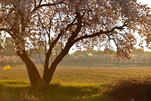 morning trees light sunset españa naturaleza sun white flores color colour tree green primavera blanco luz sol nature field grass landscape luces spring spain nikon flor almond rosa amanecer provincia albacete almendro castillalamancha d600