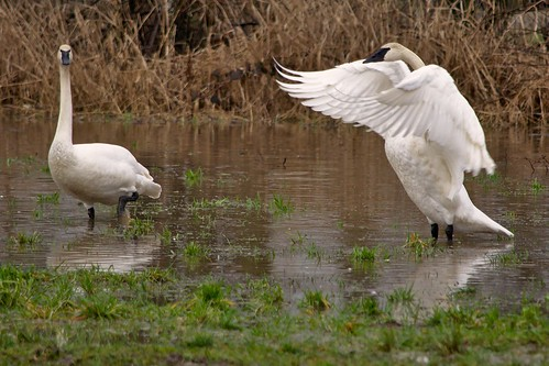 Trumpeter Swan Stretching His Wings