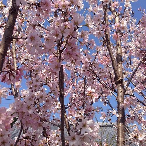 うちの庭の緋寒桜は満開ですわ