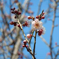 榴岡公園の梅