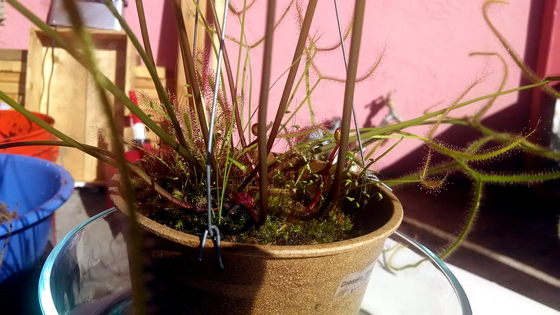 Drosera binata 'Marston Dragon' and two forms of Drosera capensis