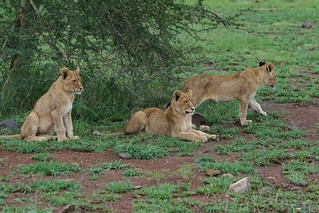 KRUGER NP young lions