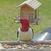 Crossville Tennessee Red-headed Woodpecker—19Apr14