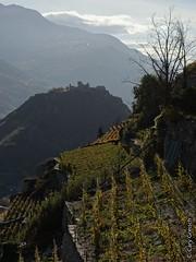 Vignoble en terrasse près de Champlan; au fond le Château de Tourbillon à Sion (2013-10-30 -25)