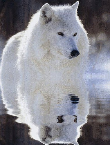 wolfwhite