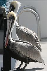 white pelican IMG_1734b