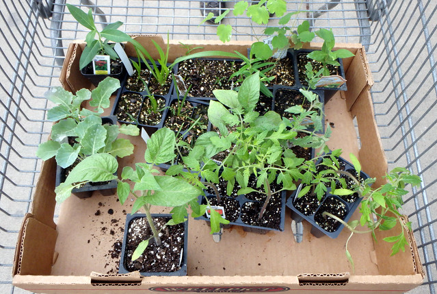 looking down at 13 plants in a cardboard flat in a cart