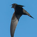 Swift Taking Fly by John Tymon