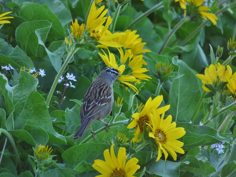 White capped sparrow on balsamroot