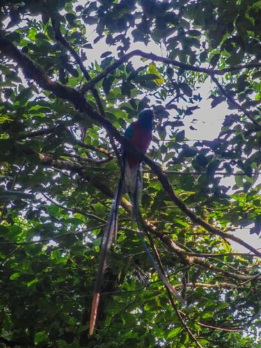 La Réserve de Monteverde: un Quetzal Resplendissant mâle